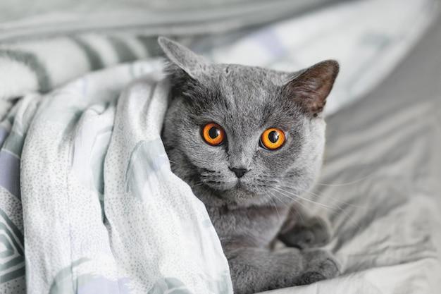 毛布の下のベッドで横になっているかわいい灰色猫。ふわふわのペットは快適に眠りに落ち着きました。