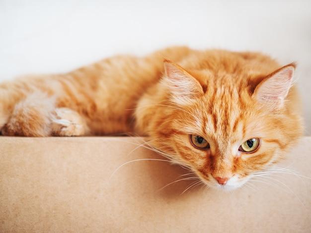 カートンボックスの上に横たわるかわいい生姜猫。ふわふわのペットが不思議に見つめています。