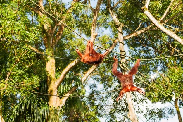 若いオランウータンは木の中でロープを登ります。シンガポール。