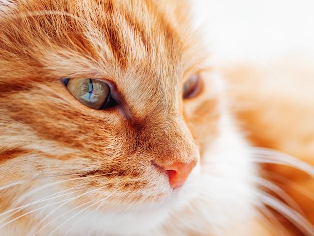 Милый рыжий кот дремлет. близкое пушистое фото любимчика стороны вверх домашнее животное смотрит в камеру. макро фотография кошачий глаз и нос.