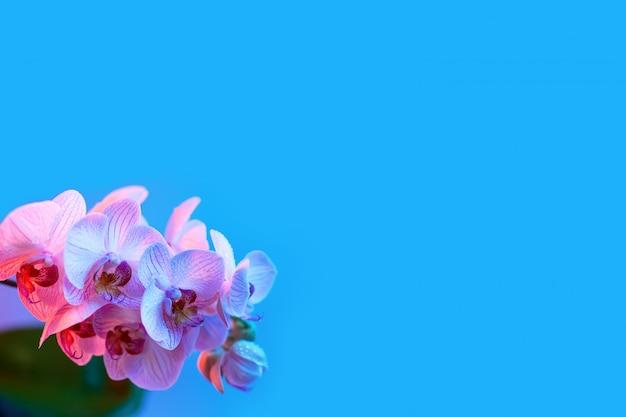 繊細なピンクの蘭の露が水色にクローズアップを値下がりしました