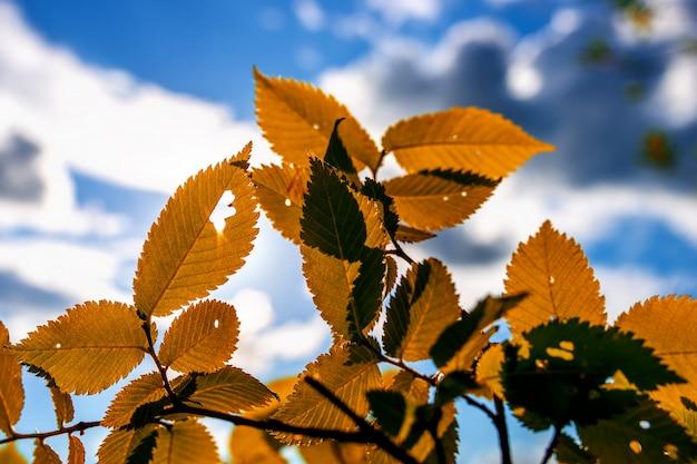 オレンジ色の秋に刻まれた木の葉に、雲と美しい空の