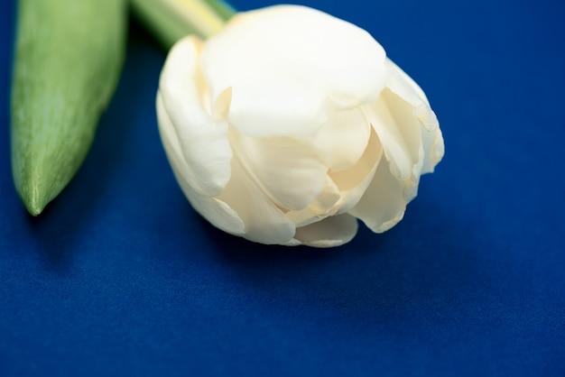 Один белый тюльпан лежит на синей бумаге. вид сверху