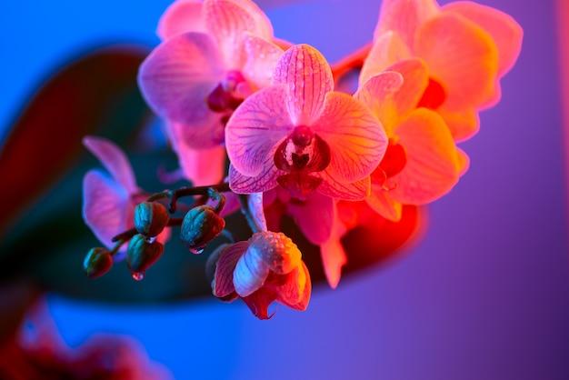 明るい青の背景に露の滴と繊細なピンクの蘭のクローズアップ