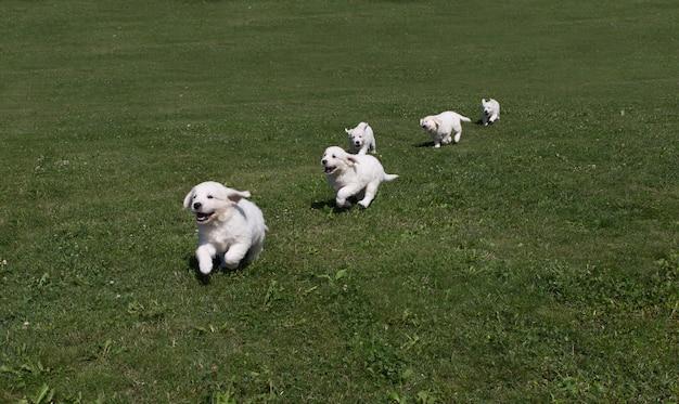 牧草地で走り回って子犬ゴールデンレトリーバーの子犬