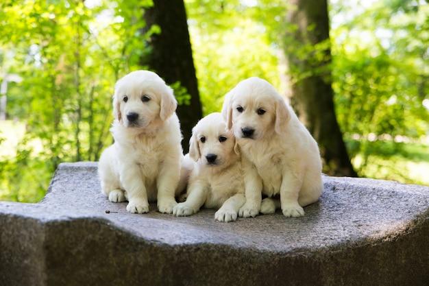 子犬ゴールデンレトリーバー子犬屋外でポーズ