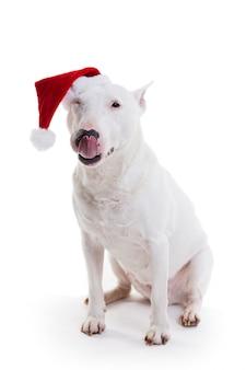 Бультерьер в новогодней шапке на белом в студии
