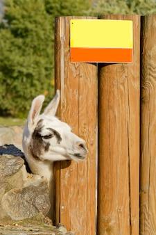 飼育下の野生動物 - 動物園のラマ