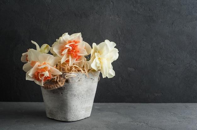 Нарциссы в цветочном горшке на темном фоне бетона
