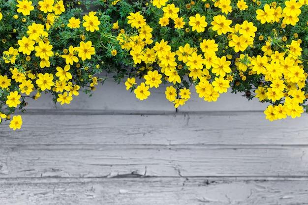 き裂を有する灰色の木製の壁の背景に黄色の花でモックアップします。