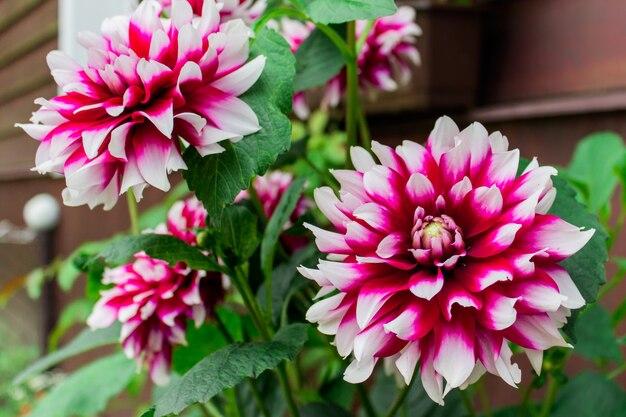 庭の二色白紫ダリア