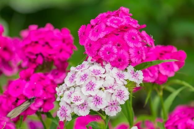天然温泉。庭に咲く美しいピンクのフロックス