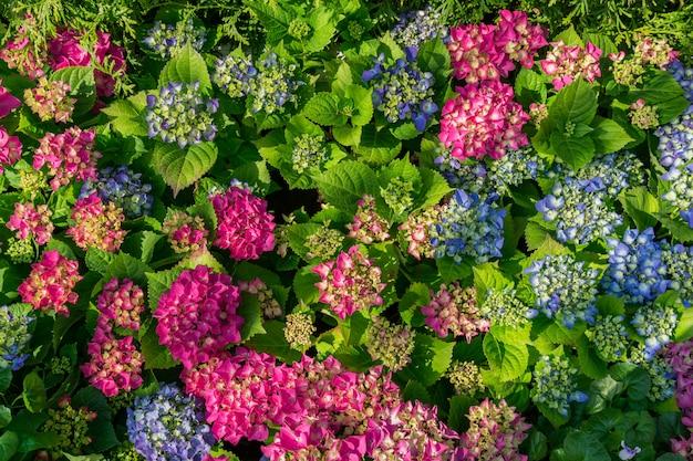 ピンクと青に咲くアジサイの花の平面図。コピースペースを持つ自然の花の背景