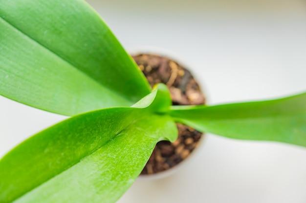 コケ蘭の花の緑の葉の平面図。ホームガーデニング。