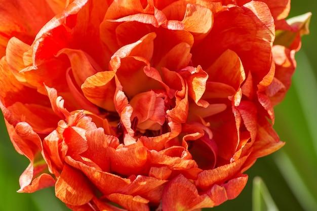 Экстрим крупным планом красивый красный цветущий тюльпан