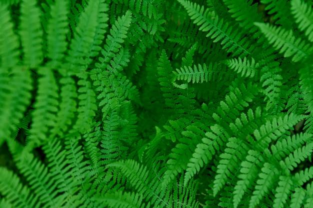 美しい緑の自然なシダの背景。若いシダの葉の壁紙