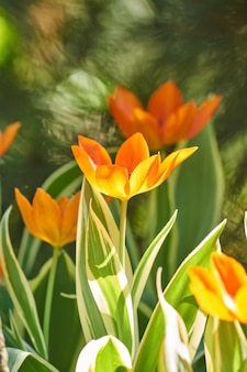 春に美しいオレンジと黄色のチューリップ畑。