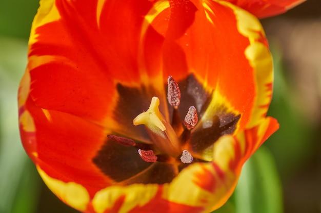 Мягкое абстрактное изображение красивого красного тюльпана. макрос с чрезвычайно малой глубиной резкости.