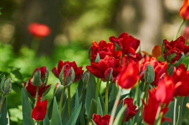 春に咲く花の自然な背景。赤いチューリップのフィールド。