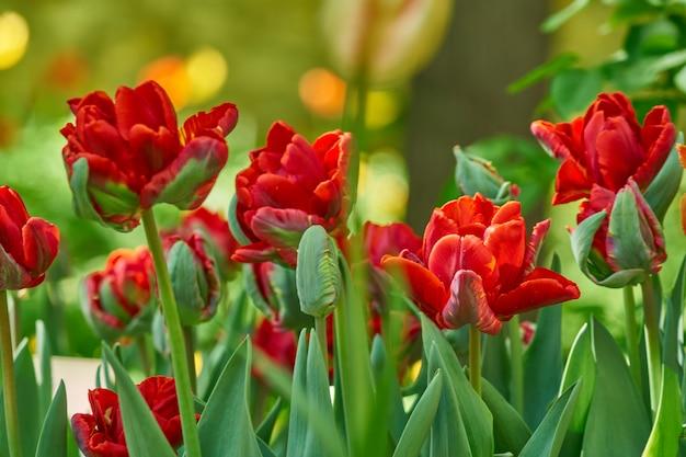 春に咲く花の自然な背景。フィールドオブレッドチューリップ。