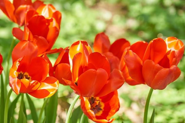 Естественный фон из весенних цветущих цветов. поле красных тюльпанов.