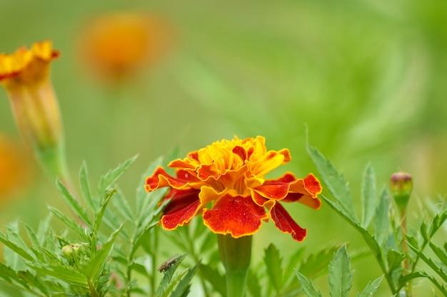Цветущие цветы календулы в саду, природа фон