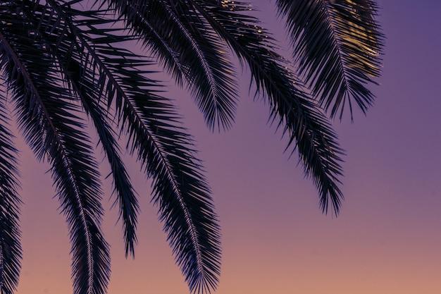 Зеленые ветви пальм на фоне заката фиолетового неба - закат фоне и концепция досуга