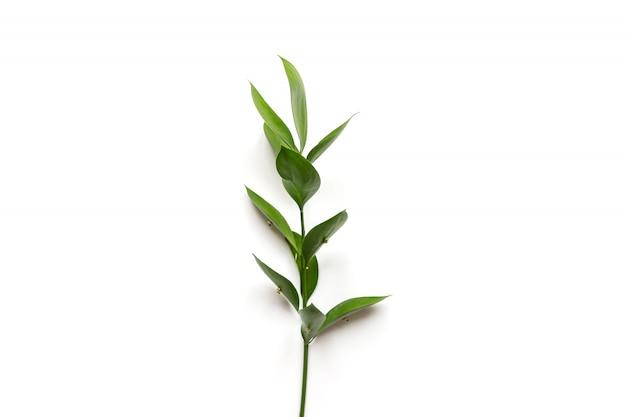 白い背景の上のラスカス植物の小枝。