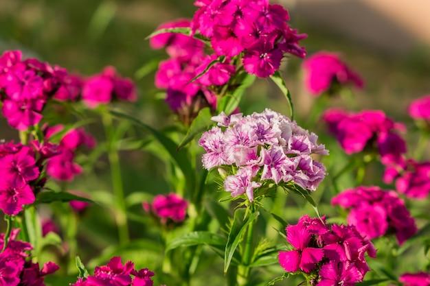 自然の背景に中国のカーネーションの花のクローズアップ