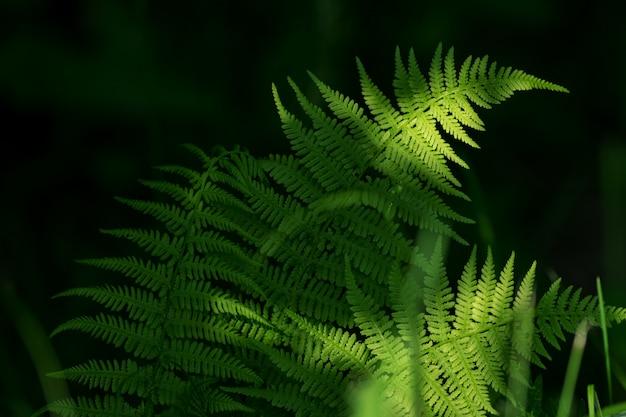 シダは緑の葉を残します。日光の下で自然の花シダの背景。
