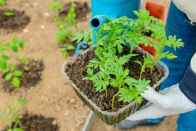 庭師は土に植える前にマリーゴールドの花の苗に水をまく