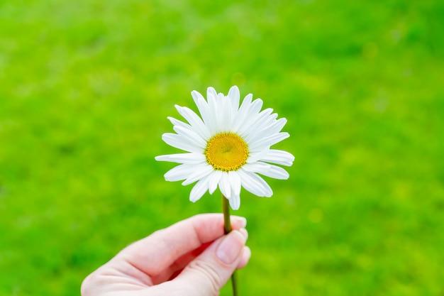 緑の自然の背景に女性の手で単一の咲くカモミールの花。夏のコンセプトです。