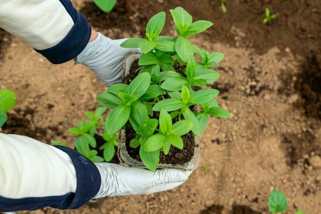 Человек в резиновых перчатках держит ростки растений
