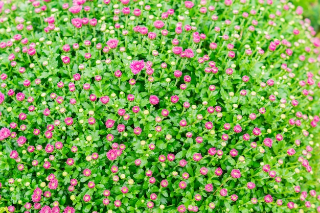菊の花。ピンクの菊のフィールド。
