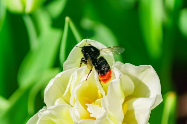 Красивый белый тюльпан и шмель на поле