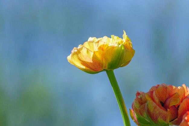 青色の背景に黄色のチューリップのクローズアップ。花の背景。夏の庭の風景