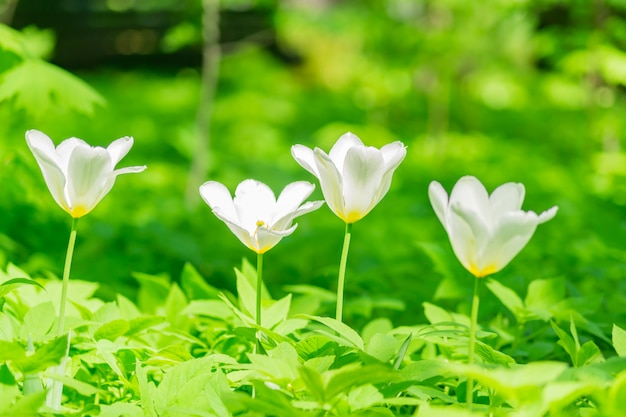 白と赤のチューリップのクローズアップ。花の背景。夏の庭の風景