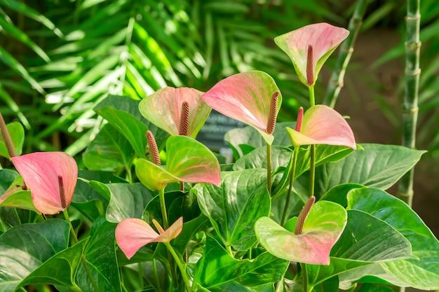 Розовый цветущий антуриум цветет в тропическом саду.