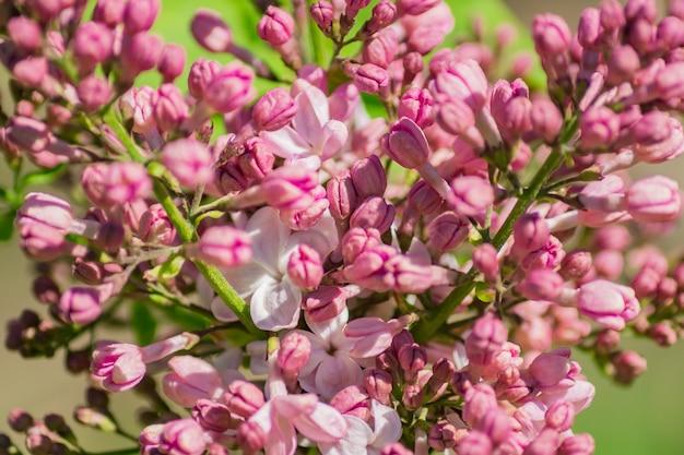 緑の背景に咲くバラライラックをクローズアップ。春のバイブ。