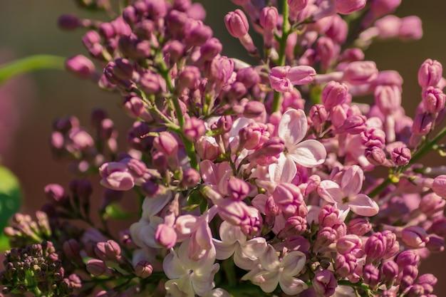 クローズアップに対して咲くバラライラック。春のバイブ。