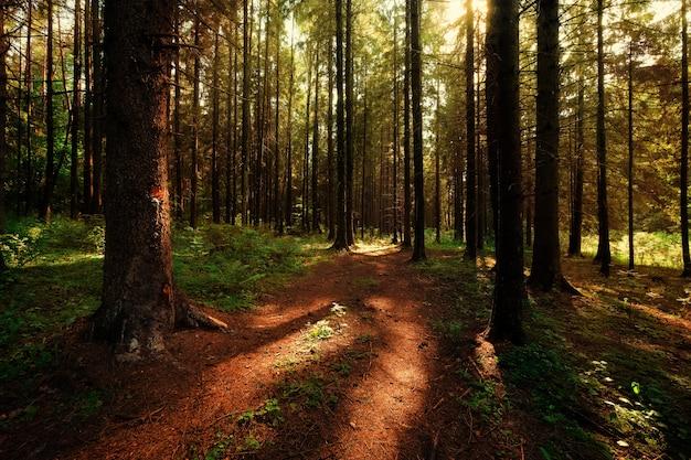 太陽の光と朝の深い森