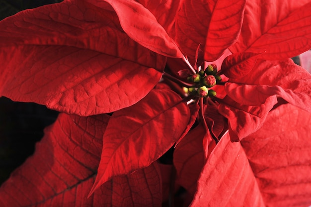 クリスマスの背景とポインセチアの赤い葉を持つ植物