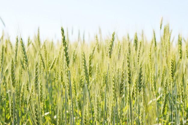緑の麦畑と晴れた日