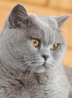 純血種のペルシャ猫の黄色い目