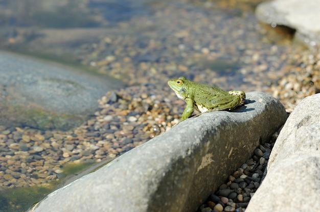 岩の上で日光浴緑湖カエル