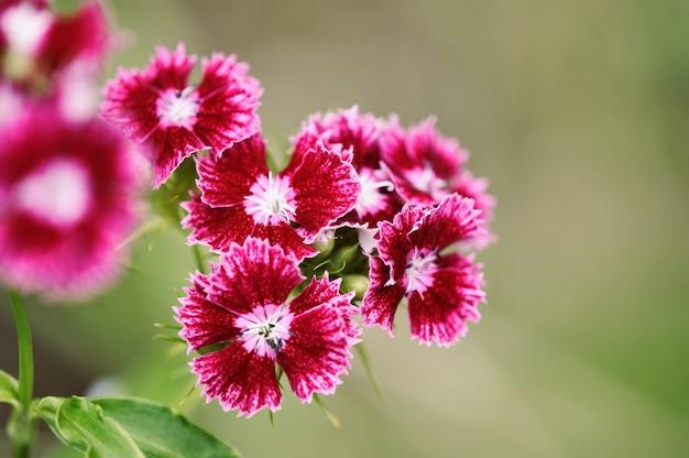 ブッシュの花トルコカーネーション深紅色