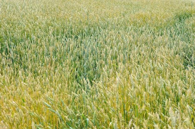 Фон с спелой желтой пшеницы