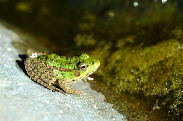 若くて緑の湖のカエル
