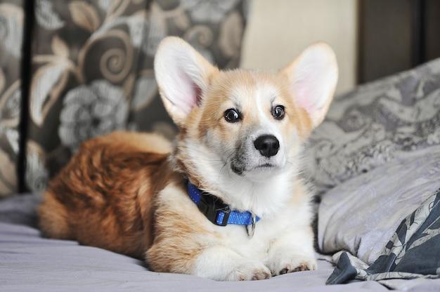 かわいいペンブロークウェルシュコーギー犬