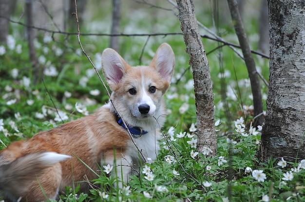 草の上に座っているウェルシュコーギーペンブローク